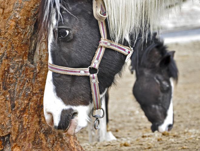 Cappadocia arkliai (2) w